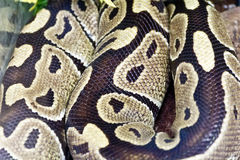 Fotografia wąż skóry zakończenie up w zoo Fotografia Stock