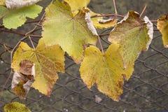 Fotografia winogrono opuszcza tło, jesień po tym jak żniwo sezon Obrazy Stock