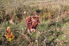Fotografia winogrono opuszcza tło, jesień po tym jak żniwo sezon winnica dolina, uprawia ziemię naturę, spadku ulistnienie, jesie Zdjęcie Royalty Free