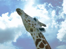 Fotografia wizerunek żyrafy przyglądający up, rozciągać jego szyi zakończenie i fotografia royalty free