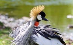 fotografia wschodniego afrykanina koronowany żuraw Fotografia Stock