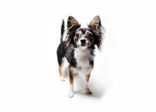 Fotografia zabawkarskiego teriera pies z jej głową w górę pozyci odizolowywającej na białym tle Fotografia Stock