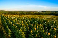 fotografia zamknięci śródpolni słoneczniki up kolor żółty Fotografia Royalty Free