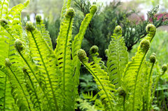 Fotografia zielony paprociowy dorośnięcie w lesie Zdjęcie Royalty Free