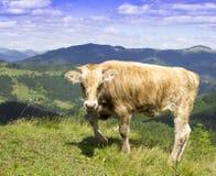 Fotografia zostaje na łące w górach beżowy byk obrazy royalty free
