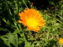 Fotografie der orange Blume auf unscharfem grünem und schwarzem backgrou Stockbilder