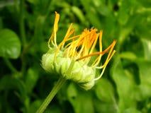 Fotografie der orange Blume auf unscharfem grünem und schwarzem backgrou Lizenzfreie Stockfotografie