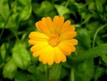 Fotografie der orange Blume auf unscharfem grünem und schwarzem backgrou Lizenzfreie Stockbilder