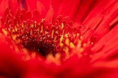 Fotografie der roten Blume mit dem gelben Staubgefässe mit dem Blütenstaub lizenzfreie stockfotografie