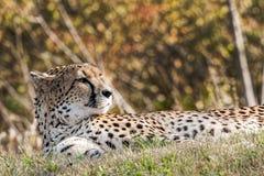 Fotografie der wild lebenden Tiere eines afrikanischen Gepardstillstehens Stockfotos