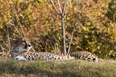 Fotografie der wild lebenden Tiere eines afrikanischen Gepardstillstehens Stockbilder