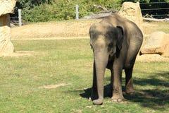 Fotografie des einzelnen männlichen asiatischen oder asiatischen Elefantenkalbs - Baby Lizenzfreie Stockfotografie