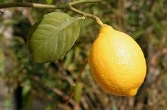 Fotografie einer Zitrone stockfotografie