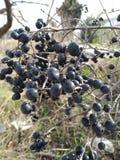 Fotografie od różnych miejsc z obfitolistnymi trzonami z czarnymi owoc, obraz stock