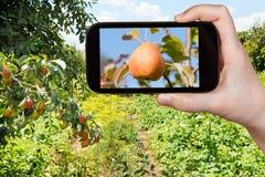 Fotografie turistiche della pera gialla e rossa matura Fotografie Stock