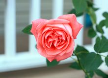 Fotografie von ein rosa Grünhintergrund des Rosengartens größtenteils lizenzfreie stockfotos