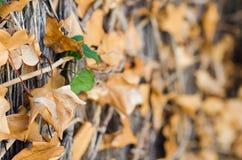 Fotografie von Reben eines Hintergrundes mit braunen Blättern lizenzfreie stockfotografie