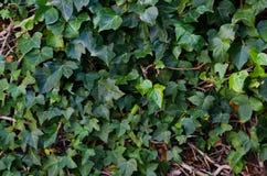 Fotografie von Reben eines Hintergrundes mit grünen Blättern stockbilder