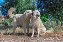 Fotografie von zwei Hunden vom Bauernhof Lizenzfreies Stockbild