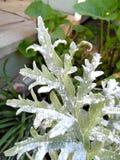Fotografiet av sparrisbladet dammade av med Diatomaceous jord Arkivfoton