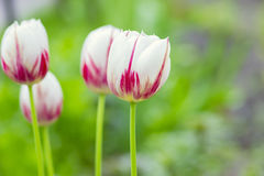 Fotografii pluśnięcia bielu tulipan Obrazy Stock