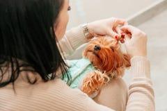 Fotografii sesji doggy psa zwierzęcia domowego nowego roku bożych narodzeń teriera ręki właściciela czerwona zabawka zdjęcia royalty free