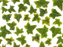 Fotografisch beeld van groene en gele Klimopbladeren, op een witte achtergrond , naadloos om eindeloos worden herhaald stock foto's