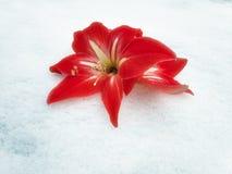 Fotografisch beeld van heldere rode leliebloem op witte sneeuwachtergrond royalty-vrije stock fotografie