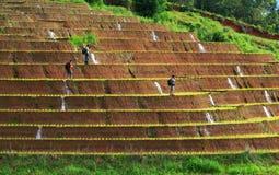 Fotografo che prende foto delle risaie su a terrazze a Chiang m. fotografie stock