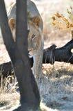 Fotografo d'inseguimento del leone africano Fotografia Stock