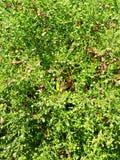 Fotohintergrund von grünen Blättern von Bush stockfoto