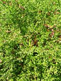 Fotohintergrund von grünen Blättern von Bush stockfotos