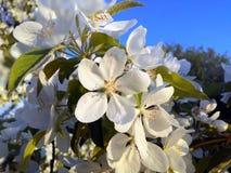 Fotokörsbäret blommar/fruktträd av det tempererade klimatet Royaltyfri Foto
