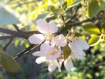 Fotokörsbäret blommar/fruktträd av det tempererade klimatet Fotografering för Bildbyråer