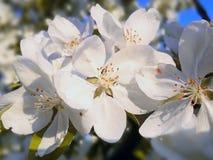 Fotokörsbäret blommar/fruktträd av det tempererade klimatet Royaltyfri Fotografi