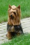 Fotomodel - Yorkshire Terrier voor een gang stock afbeeldingen