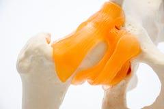 Fotonärbildanatomi och höftstruktur med ligament och senor, som, samman med bäcken- ben: ilium ischium, blygdben och arkivfoton