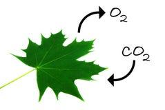 Fotosíntesis 1 Ilustración del Vector