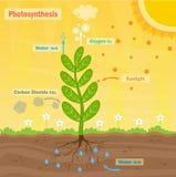 fotosíntesis Foto de archivo