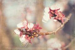 Fotos afligidas das flores da maçã fotografia de stock royalty free