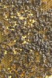 Fotos de abejas en sitios con las larvas y la miel que se han preparado para el invierno Foto de archivo libre de regalías