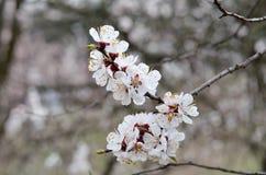 Fotos de la primavera, rama del albaricoque con las pequeñas flores blancas Imagenes de archivo
