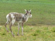 Fotos del verano de ciervos en la tundra imagen de archivo