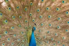 Fotos dos pavões que mostram penas bonitas Fotos de Stock