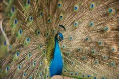 Fotos dos pavões que mostram penas bonitas Imagem de Stock Royalty Free