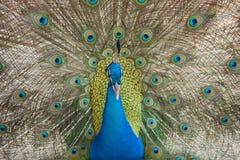 Fotos dos pavões que mostram penas bonitas Fotos de Stock Royalty Free