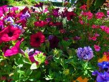 Fotos macras con las flores hermosas brillantes de la petunia para ajardinar Imagen de archivo libre de regalías