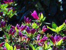 Fotos macras de flores hermosas con los pétalos de sombras púrpuras, rosadas en las ramas de Bush del rododendro Fotos de archivo libres de regalías