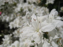 Fotos macro de flores bonitas com as pétalas da cor branca nos ramos do rododendro Fotografia de Stock