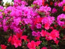 Fotos macro de flores bonitas com as pétalas da matiz cor-de-rosa no ramo de um arbusto do rododendro Fotos de Stock